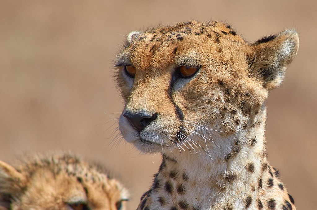Cheeta close-up - Serengeti Tanzania ervaring