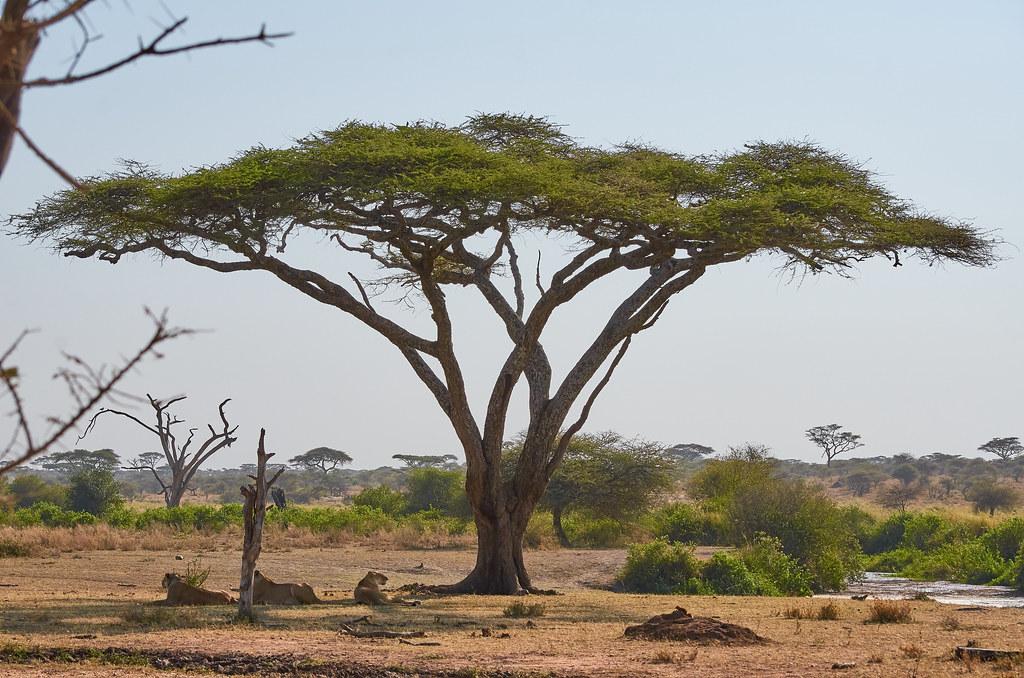 Leeuwinnen rusten onder een boom - Serengeti Tanzania ervaring