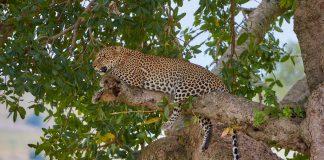 Luipaard in een boom -  - Serengeti Tanzania ervaring
