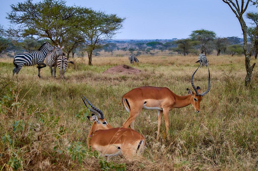 Zebra's en gazelles - Serengeti Tanzania ervaring