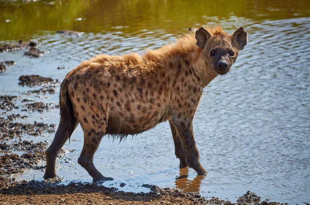 Zwangere hyena - Serengeti Tanzania ervaring