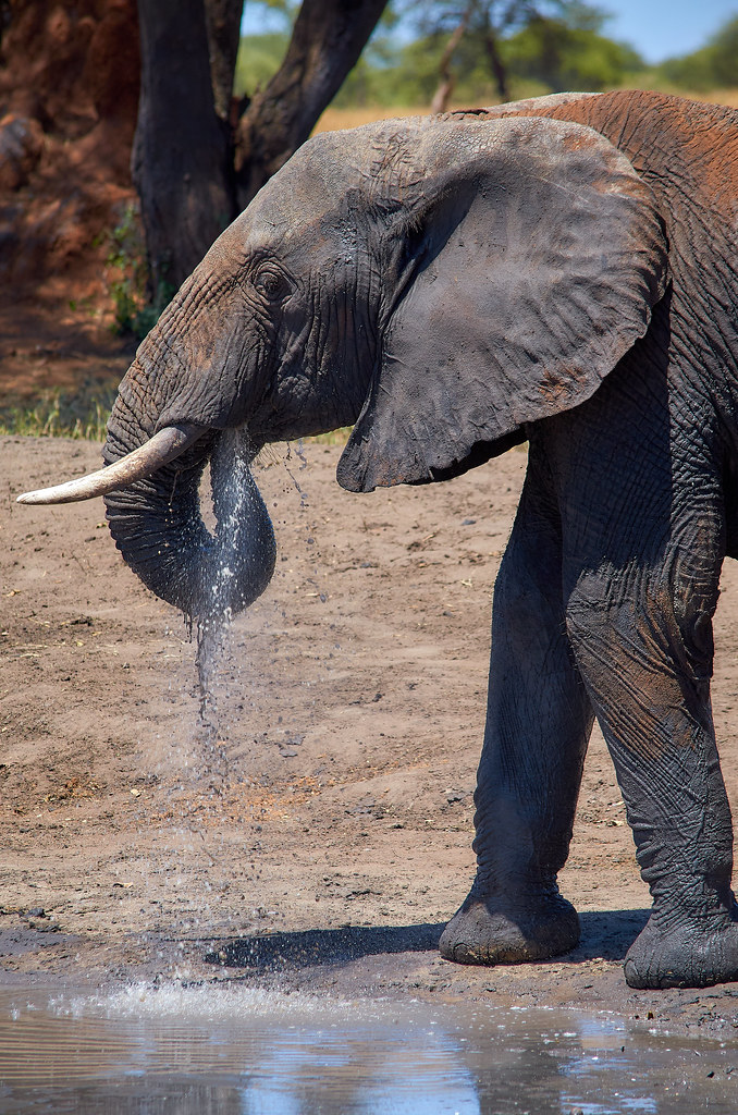 Een olifant drinkt water in Tarangire wildpark Tanzania