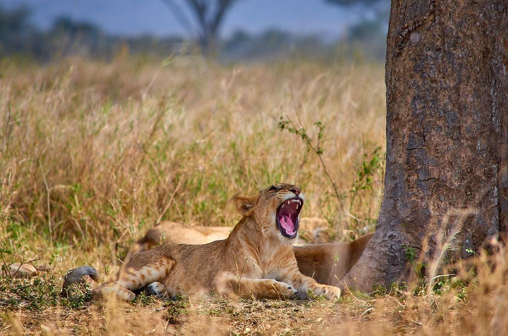 Gapende leeuwin - Serengeti wildpark Tanzania ervaring