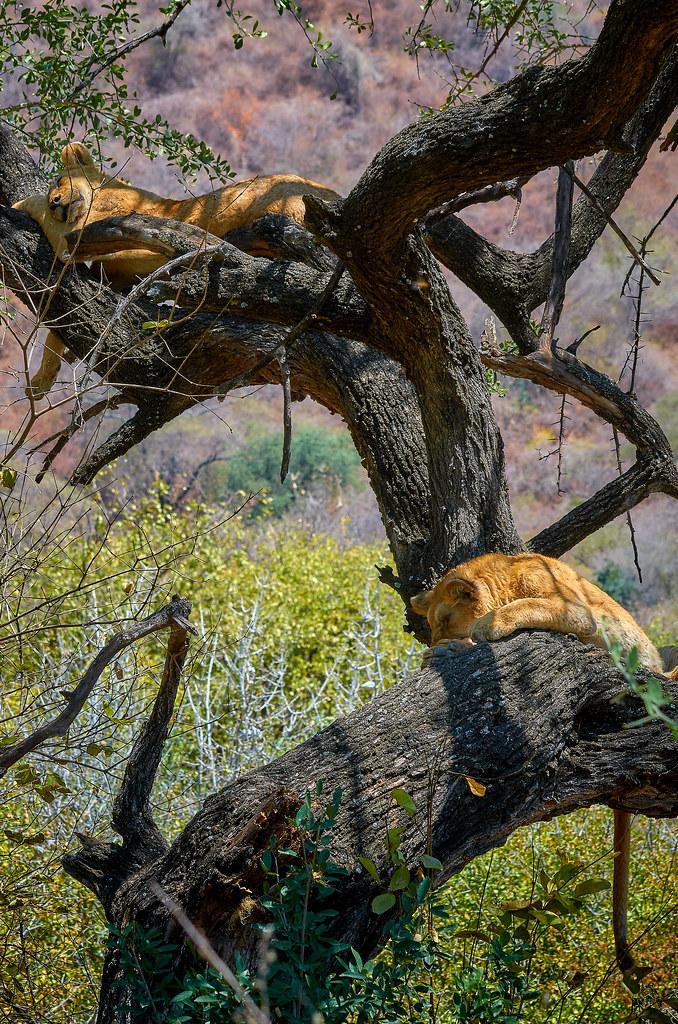 Lake Manyara Tanzania - Boomklimmende leeuwen tijdens safari