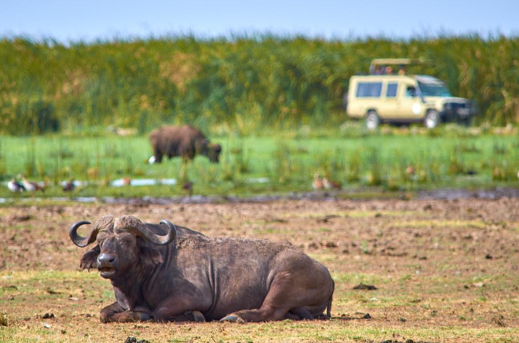 Lake Manyara Tanzania - Buffel rust uit met safari auto op achtergrond