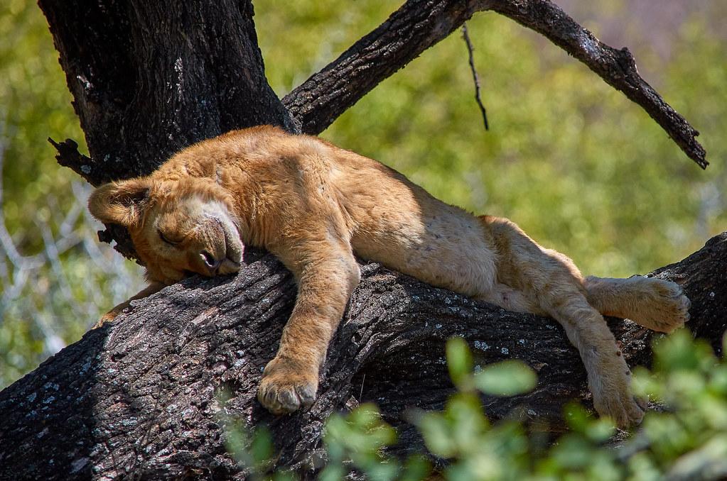 Lake Manyara Tanzania - Slapende boomklimmende leeuw
