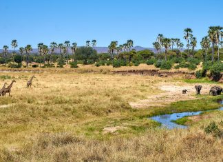 Tarangire rivier trekt olifanten en giraffes aan