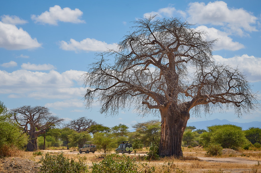 Tarangire wildpark Tanzania - De beroemde boabab boom