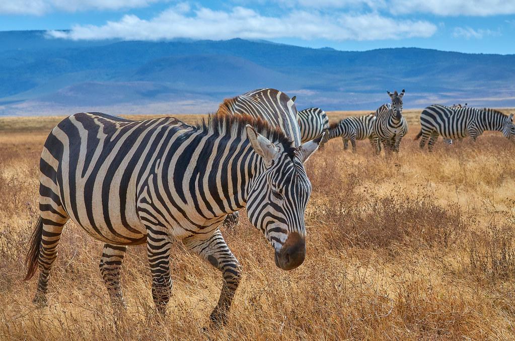 Zebra in Ngorongoro - Wildpark Tanzania safari ervaring